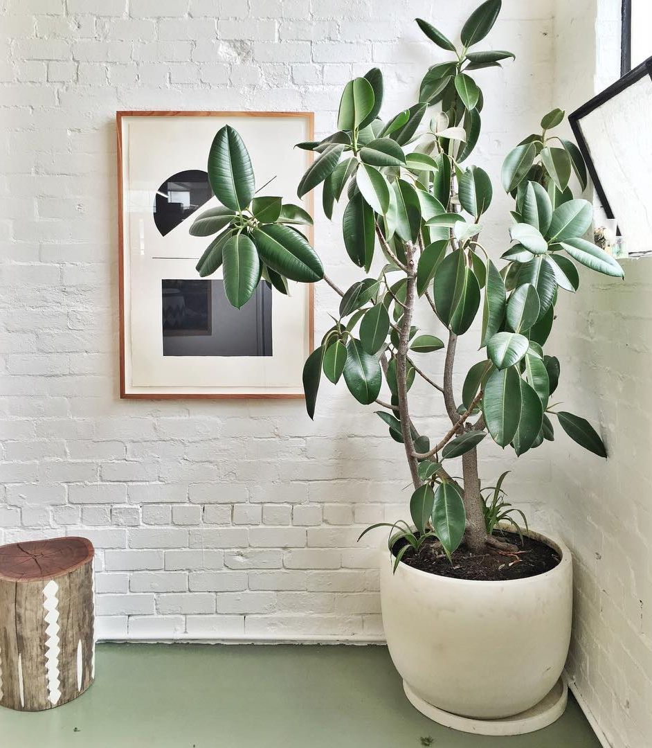 Plantas de interior de hojas atractivas para decorar - Ficus elastica cuidados ...