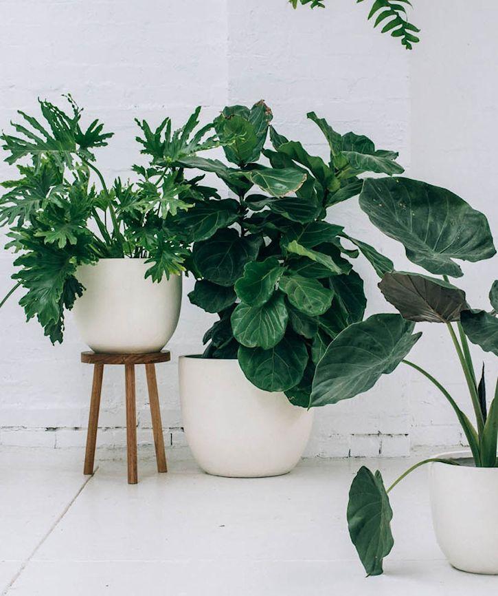 6 formas de revivir una planta de interior casi seca - Plantas de interior grandes ...